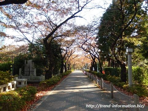 青山霊園の桜並木通り